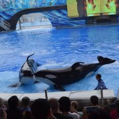 Killer Whales At SeaWorld Orlando